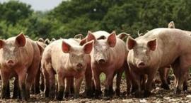 Afrykański pomór świń - zasady ochrony świń przed chorobą [WIDEO]